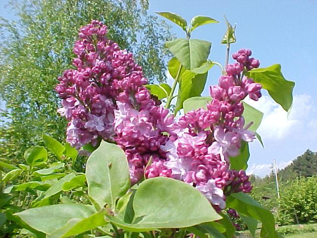 Syrenens blomster og med dem duften af forår