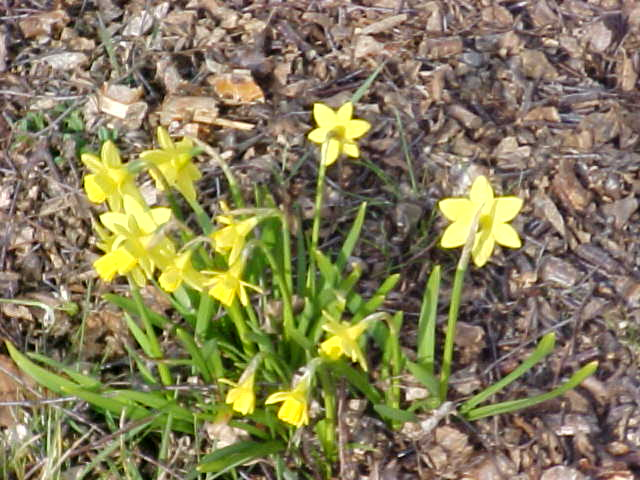 Nyudsprungne påskeliljer