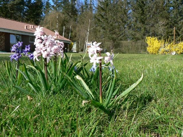 Hyacinther i græsplænen
