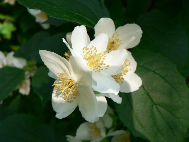 Sommerblomst i fuldt flor